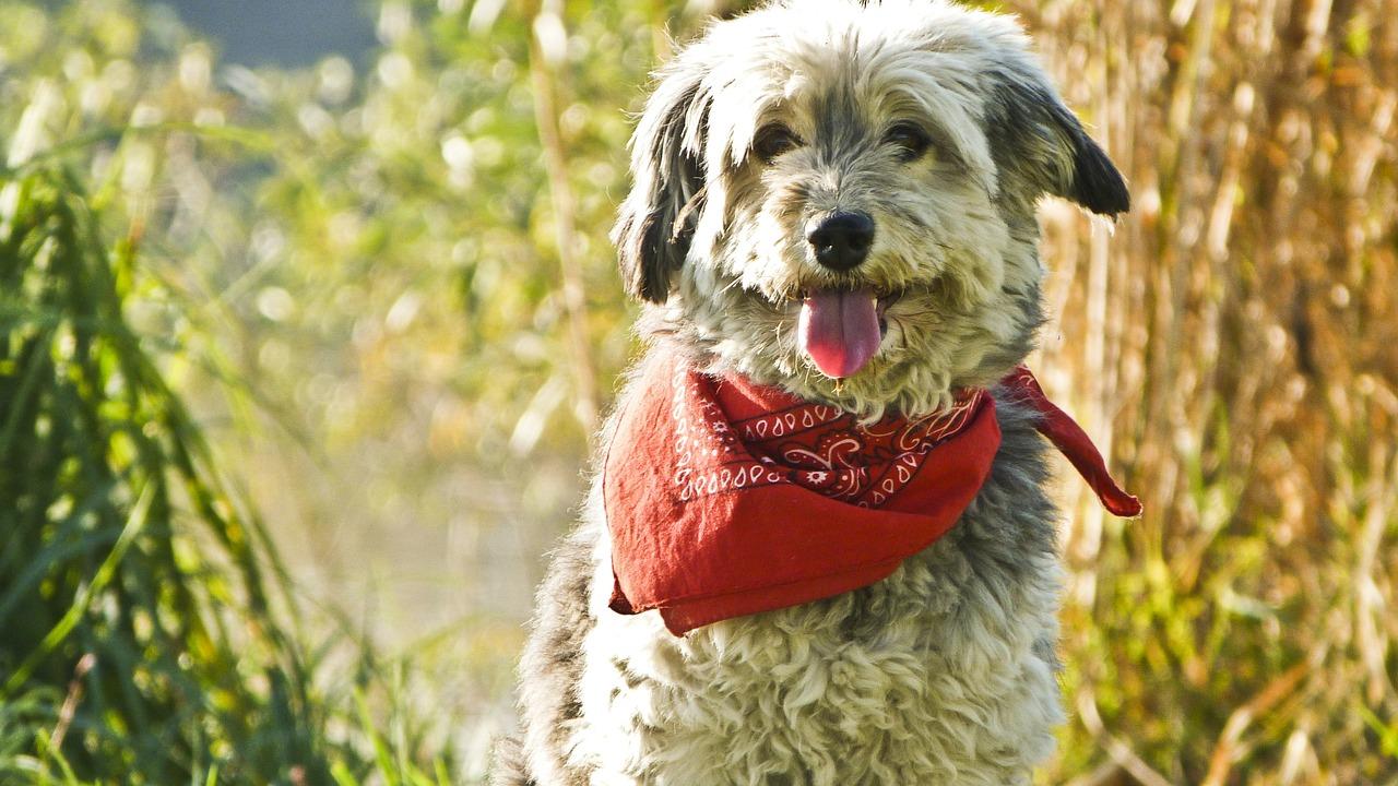 Hund mit rotem Halstuch