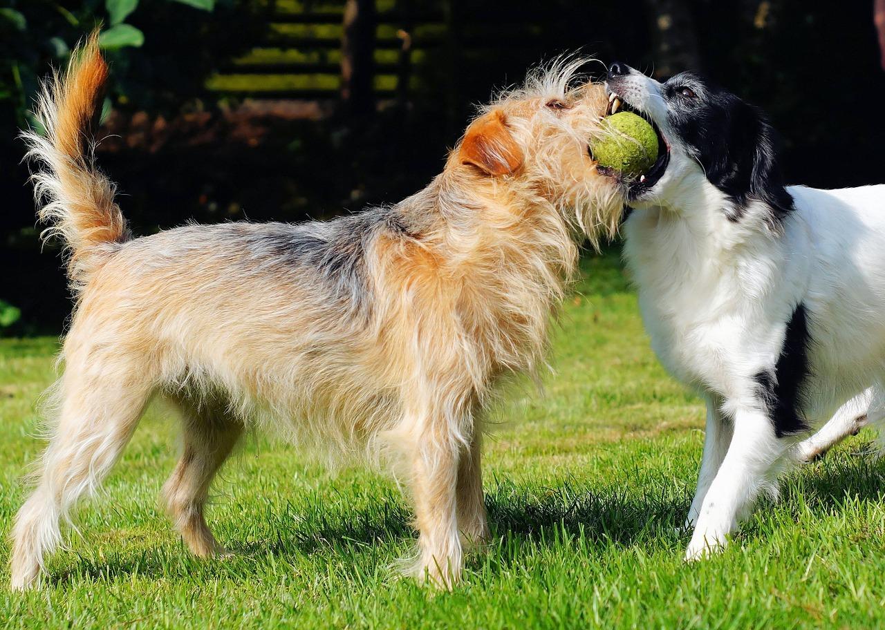 zwei Hunde die spielen mit Tennisball