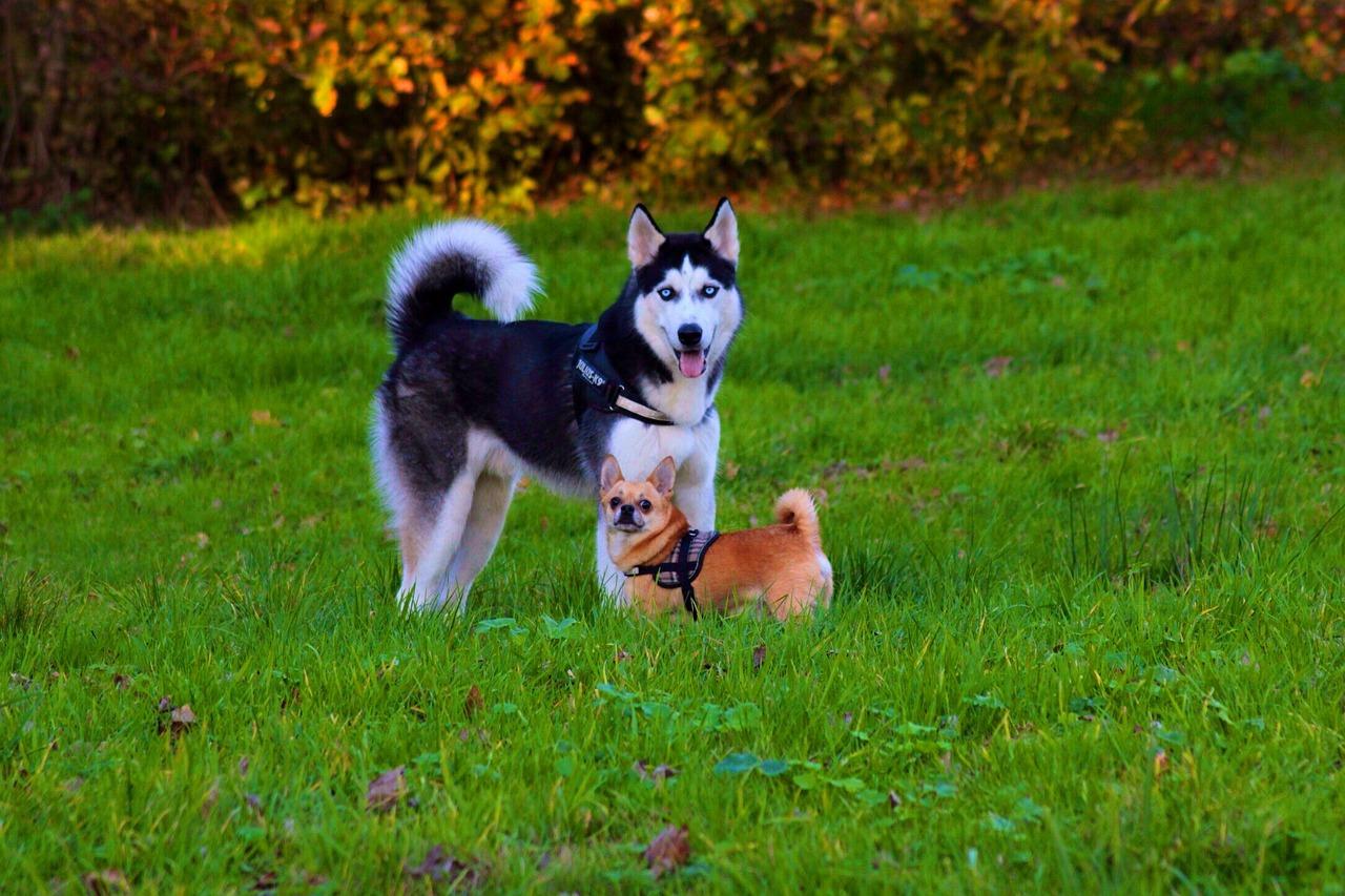 Husky und zwerg